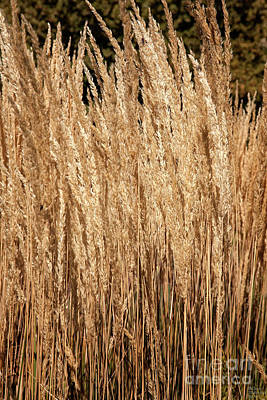Photograph - Golden Wheat by David Millenheft