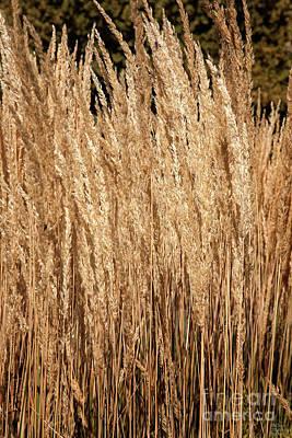 Yellow Photograph - Golden Wheat by David Millenheft