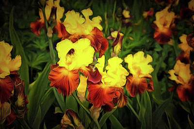 Photograph - Gold And Wine Iris by Thom Zehrfeld