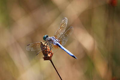 Macro Dragonfly Photograph - Golden Wings by Carol Groenen