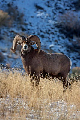 Photograph - Golden Winter Day Ram by Mark Miller