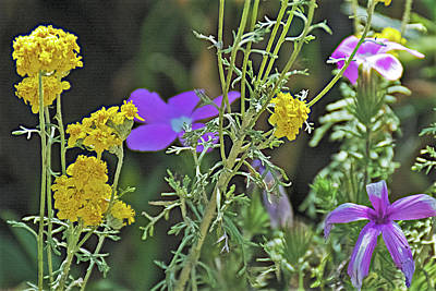 Photograph - Golden Yarrow And Phlox Along Glendora Ridge Road, California  by Ruth Hager