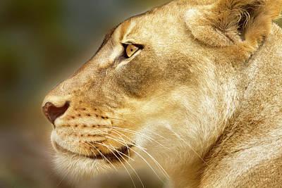 Lion Photograph - Lion by David Millenheft