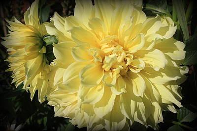 Photograph - Golden Yellow Dahlias by Dora Sofia Caputo Photographic Design and Fine Art