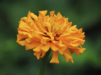 Photograph - Golden Zinnia - Soft Focus by MTBobbins Photography