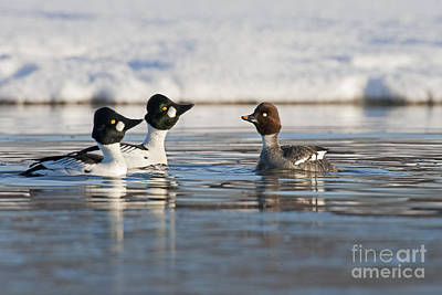 Goldeneye Photograph - Goldeneye Ducks In Courtship by Tim Grams