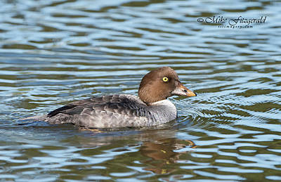 Photograph - Goldeneye by Mike Fitzgerald