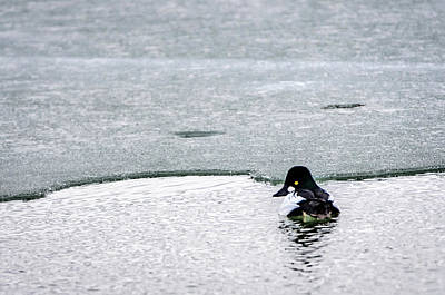 Photograph - Goldeneye On Ice's Edge by Steven Santamour