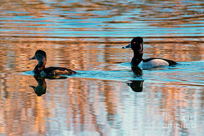 Goldeneye Photograph - Goldeneye Pair by Mike Dawson