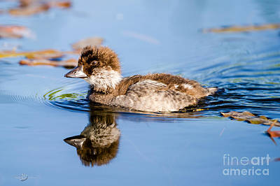 Goldeneye Photograph - Goldeneye Young by Torbjorn Swenelius