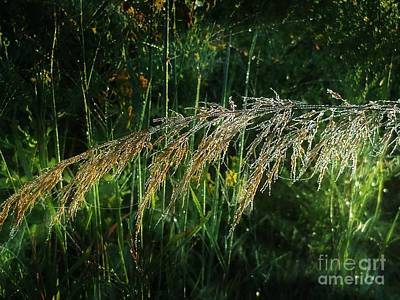 Photograph - Goldenreed by Maria Urso