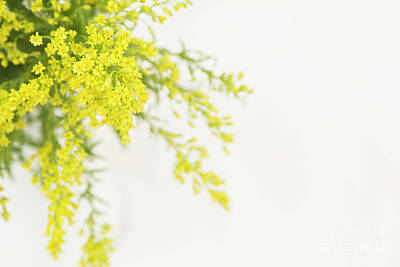 Photograph - Goldenrod by Anne Gilbert