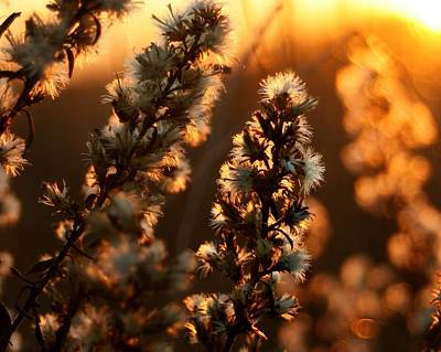 Photograph - Goldenrod At Sunset by Jeanette Fellows