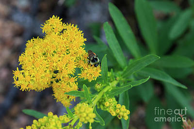 Photograph - Goldenrod Close-up by Richard Smith