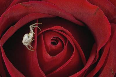 Goldenrod Photograph - Goldenrod Crab Spider Misumena Vatia by Michael Quinton