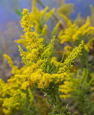 Photograph - Goldenrod Densely Flowering by Steven Schwartzman
