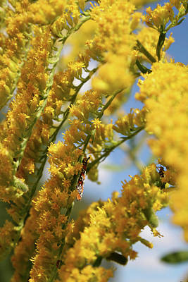 Photograph - Goldenrod by Dylan Punke