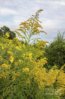 Photograph - Goldenrod Flowers by Chris Scroggins