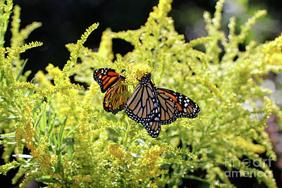 Photograph - Goldenrod Flowers And Butterflies by Luana K Perez
