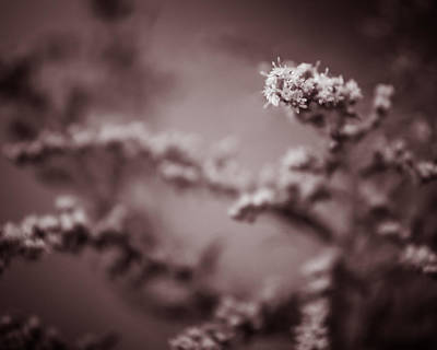 Photograph - Goldenrod Muddle by Chris Bordeleau