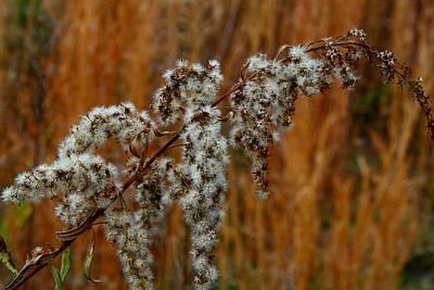 Photograph - Goldenrod Seedhead by Kathryn Meyer
