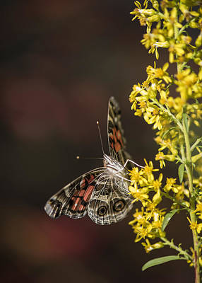Photograph - Goldenrod Visitor by Robert Potts