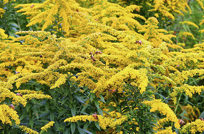Photograph - Goldenrod With Bees by Ellen Tully