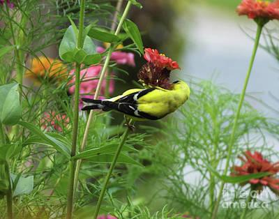 Photograph - Goldfinch 23 by Lizi Beard-Ward