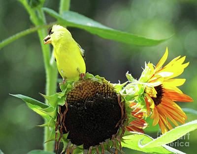 Photograph - Goldfinch 34 by Lizi Beard-Ward
