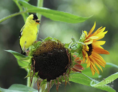 Photograph - Goldfinch 37 by Lizi Beard-Ward