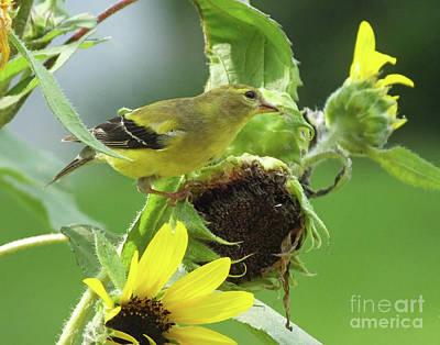 Photograph - Goldfinch 39 by Lizi Beard-Ward