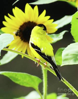 Photograph - Goldfinch 40 by Lizi Beard-Ward