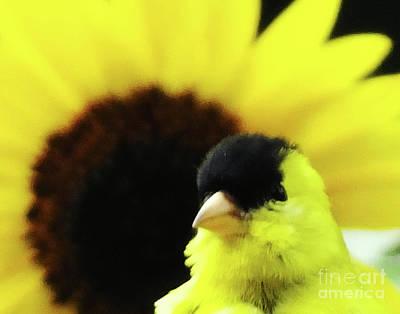 Photograph - Goldfinch 41 by Lizi Beard-Ward