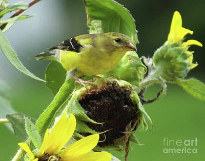 Photograph - Goldfinch 42 by Lizi Beard-Ward