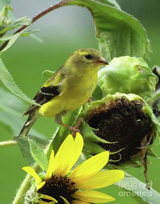 Photograph - Goldfinch 44 by Lizi Beard-Ward