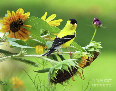 Photograph - Goldfinch 47 by Lizi Beard-Ward