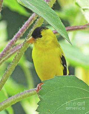 Photograph - Goldfinch 50 by Lizi Beard-Ward