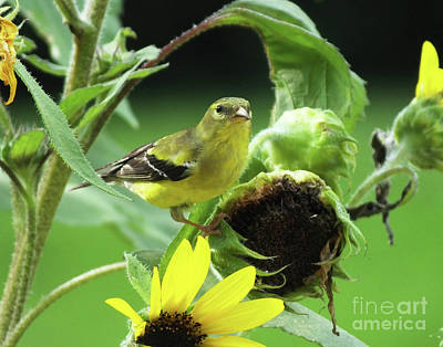 Photograph - Goldfinch 51 by Lizi Beard-Ward