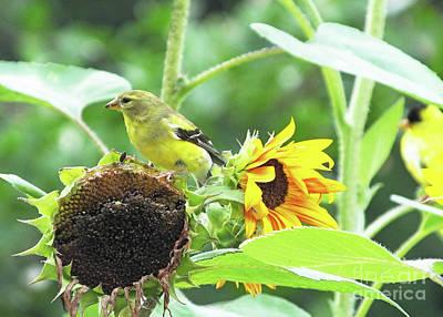 Photograph - Goldfinch 57 by Lizi Beard-Ward