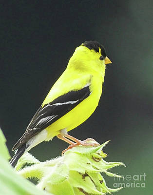 Photograph - Goldfinch 58 by Lizi Beard-Ward