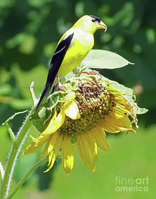 Photograph - Goldfinch 6  Whitby  by Lizi Beard-Ward
