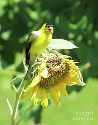 Photograph - Goldfinch 8 by Lizi Beard-Ward