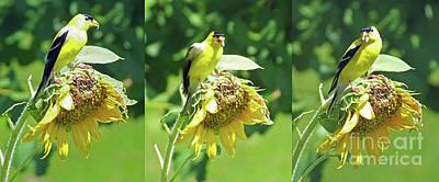 Photograph - Goldfinch 9 by Lizi Beard-Ward
