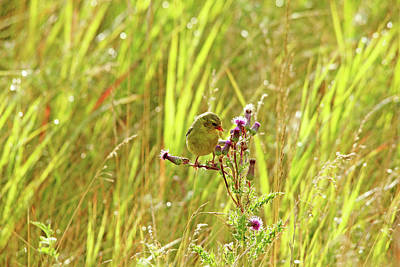 Photograph - Goldfinch And Purple Thistle by Debbie Oppermann