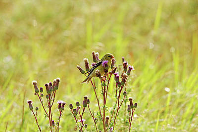 Photograph - Goldfinch And Thistle by Debbie Oppermann