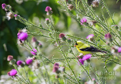 Photograph - Goldfinch And Thorns by David Cutts