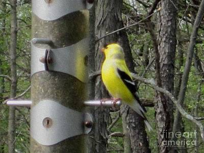 Photograph - Goldfinch At The Feeder by Kathie Chicoine