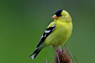 Photograph - Goldfinch Curiosity by Craig Strand