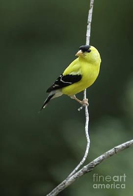Photograph - Goldfinch by David Waldrop