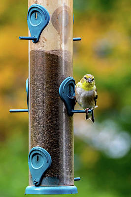 Photograph - Goldfinch Eating Seed by Jack Peterson
